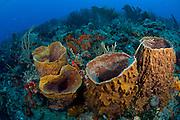 Barrel Sponges (Xestospongia muta) on a coral reef in Palm Beach, FL.