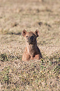 Pregnant Spotted Hyena in Tanzania