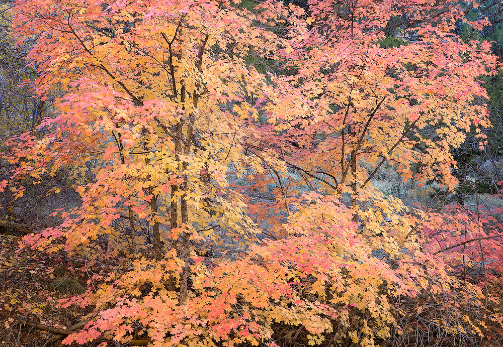 stunning autumn colors on vine maple trees, Zion Nat. Park, UT.