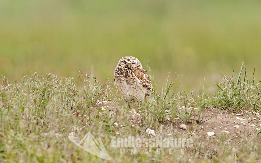 A Burrowing Owl rests just outside of its burrow keeping an eye on its surroundings.