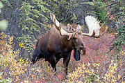 Alaskan bull moose urinates during rutting behavior.