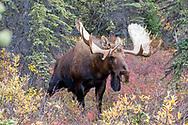 Alaskan bull moose urinates during rutting behavior.