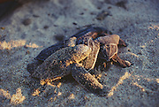 356101-1067B ~ Copyright: George H. H. Huey ~ Leatherback hatchling (Dermochelys schlegeli) leaving natural nest at dawn. Michoacan, Mexico.