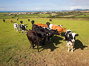 Cattle in field near village of Trefin, Pembrokeshire, Wales
