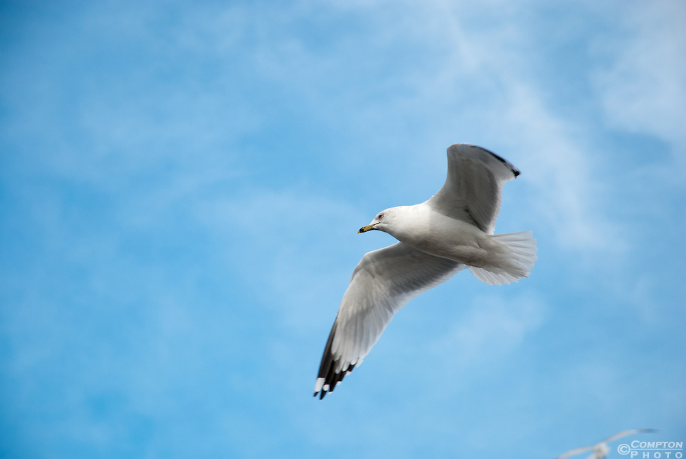 Herring Gull (Larus smithsonianus)