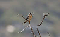 Early April 2016 in northern Utah at Farmington Bay Bird Refuge a Male American Kestrel perched in a small dead tree watching the ground for mice!
