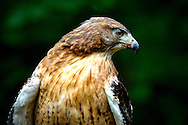 This species is a large, broad-winged hawk of the open, arid grasslands, prairie and shrub steppe country; it is endemic to the interior parts of North America.