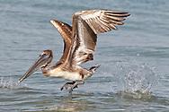 Brown Pelican - Pelicanus occidentalis - juvenile