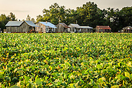 Tenant houses sit in behind a cotton field at Tallahatchie Flats in Greenwood, Miss. The houses have been preserved and furnished in a 1940s style, giving guests the opportunity to experience rural life as it was decades ago. (Photo by Carmen K. Sisson)