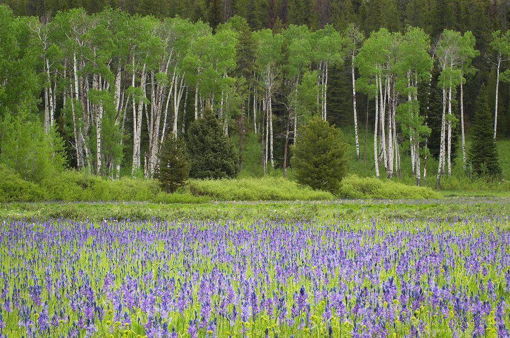 Meadow of Common Camas (Camassia quamash), Grand Teton National Park Wyoming
