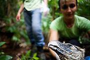 Parauapebas_PA, Brasil...Programa de Conservacao do Gaviao Real  (Harpia harpyja) na Floresta Nacional de Carajas, Para...Preservation Program of the Harpy Eagle (Harpy harpyja) at Carajas National Forest, Para. ..Foto: JOAO MARCOS ROSA / NITRO