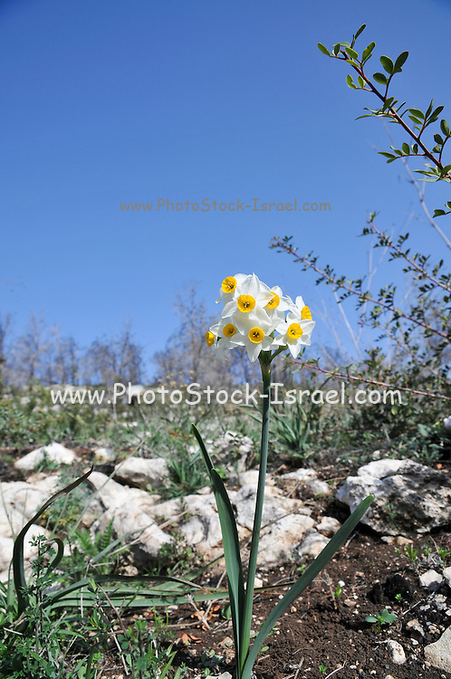 Daffodil (Narcissus tazetta) photographed in Israel, Carmel Mountain in December