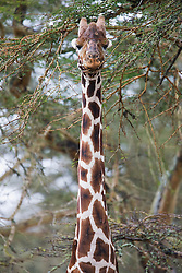 Close-up of a reticulated giraffe ( Giraffa camelopardalis reticulata ) eating leaves from an acacia tree, The Aberdares, Kenya,Africa