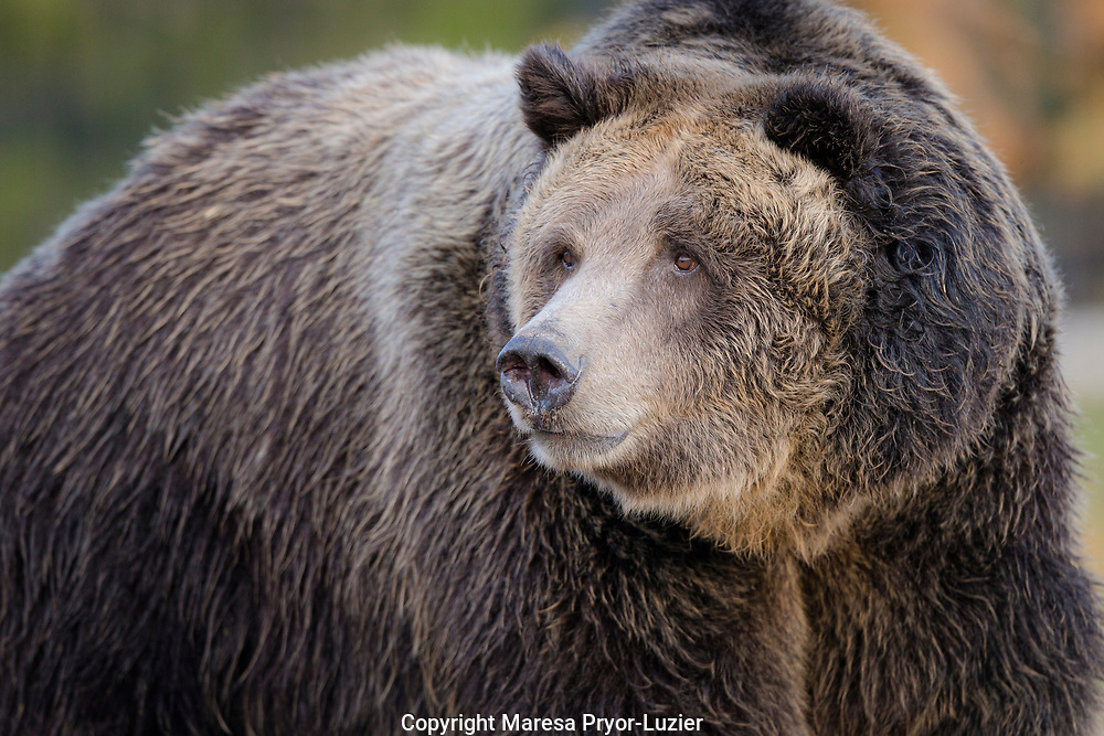 Brown Bear/Grizzly, Ursus arctos, Grizzly & Wolf Discovery Center, West Yellowstone, MT