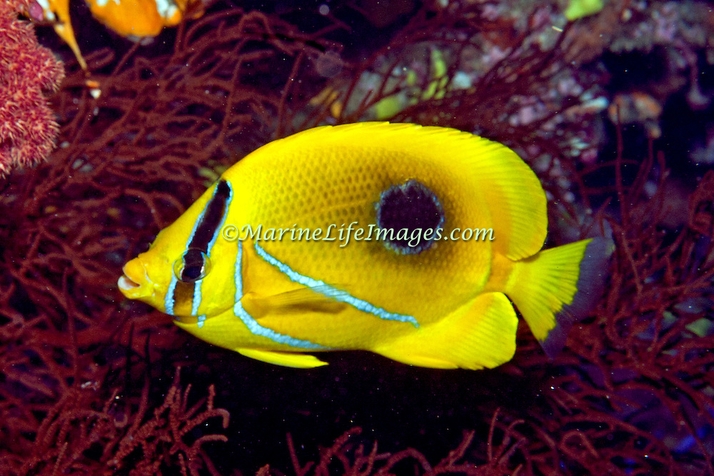 Eclipse Butterflyfish inhabit reefs. Picture taken Fiji.