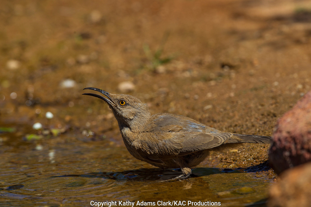 Curve-billed thrasher; Sonoran Desert; Southern Arizona; drinking, Summer; Toxostoma curvirostre