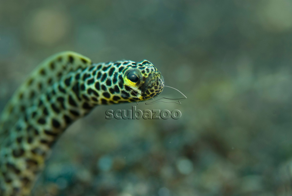 Taylors Garden Eel, Heterconger taylori, close up of face, KBR, Lembeh Strait, Sulawesi, Indonesia.