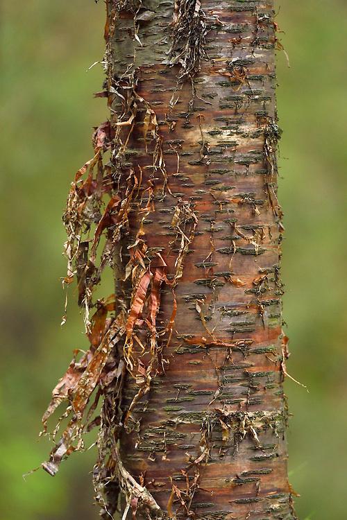 Sichuan birch, Betula szechuanica, Tangjiahe National Nature Reserve, NNR, Qingchuan County, Sichuan province, China