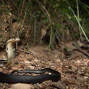 Juvenile Monocled Cobra (Naja kaouthia) in Krabi, Thailand