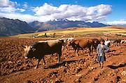 PERU, HIGHLANDS herding livestock above Urubamba