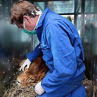 Frankrijk Lieusaint,21 mei 2015.<br /> Stichting AAP die zich inzet voor opvang en welzijn van verwaarloosde dieren waaronder diverse apensoorten haalt nu verwaarloosde 2 tijgers en 2 leeuwen op bij een failliete circus in het plaatsje Lieusaint in de buurt van Parijs om ze vervolgens een betere toekomst te geven in opvangcentrum Primadomus in de buurt van Alicante Spanje.<br /> Op de foto: Voordat de dieren op transport gaan worden ze medisch na verdoving nog goed onderzocht door 2 dierenartsen.<br /> In de blauwe overal Stichting AAP oprichter David van Gennep kijkt toe.<br /> <br /> <br /> <br /> Foto: Jean-Pierre Jans