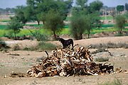 A hungry black mongrel dog and two puppies scavenging among a pile of old bones at Nalu, Rajasthan, India.