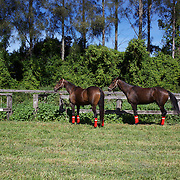 'A Day at the Polo'<br /> Competition horses tethered and waiting for competition during the International Polo Test match between Australia and England at the Windsor Polo Club, Richmond, Sydney, Australia on March 29, 2009. Australia won the match 8-7.  Photo Tim Clayton