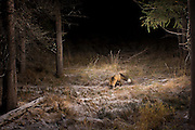 A red fox (Vulpes vulpes) photographed with a trail camea in Big Hole National Battlefield, Montana.