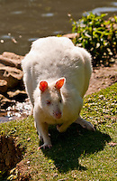 Chateau de Sauvage, France. Albino Wallaby in the animal park at the side of the lake - front view.