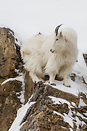 Mountain goats inhabit high-altitude habitats where elevations can reach 13,000 feet or more. Although considered an alpine species, in winter they often migrate to lower elevations in search of mineral licks and readily available browse.