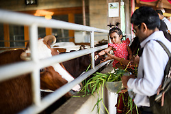 © Licensed to London News Pictures. 02/09/2018. Aldenham, UK. A young girl feeds a sacred cow during Janmashtami Hindu festival at Bhaktivedanta Manor Hare Krishna Temple in Aldenham, Hertfordshire. Janmashtami is an annual Hindu festival that celebrates the birth of Krishna. Bhaktivedanta Manor, the venue fo the event, was donated to the Hare Krishna movement in February 1973 by former Beatle George Harrison. Photo credit: Ben Cawthra/LNP