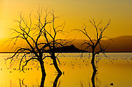 Birds and barren trees at sunset at the Salton Sea, Imperial Valley, California