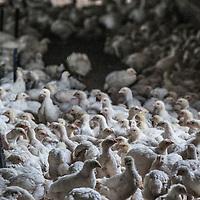 Nederland, Tuitjenhorn, 9 april 2016.<br /> Diervriendelijke  kip niet duurzaam.<br /> In Tuitjenhorn zit de biologische pluimveehouderij van Marcel Groot. Aan de rand van het dorp heeft hij twee ouderwetse stallen met elk 5000 kippen. Binnen lopen de kippen op stro. Hoewel de stal aardig vol zit, ziet het er &lsquo;natuurlijk&rsquo; uit.<br /> In plaats van zes weken, zoals bij de plofkip het geval is, leven de bio-kippen van Groot gemiddeld tien weken. Ook zitten er tien kippen op &eacute;&eacute;n vierkante meter, in plaats van twintig. En in de lente en de zomer hebben ze uitloop naar buiten. Niet voor niets heeft zijn kip het drie-sterren &lsquo;&lsquo;Beter-Leven-keurmerk&rsquo; van de Dierenbescherming. ,,Qua dierenwelzijn doe je met deze kip een grote stap vooruit,&rdquo; zegt Groot. ,,Maar qua milieu doe je een stap terug.&rdquo;<br /> Zijn kippen leven namelijk langer, hebben meer voer nodig, verbruiken meer energie, en zijn daardoor slechter voor het milieu. Daarnaast, legt Groot uit, werkt hij nog met verouderde apparatuur uit de jaren &rsquo;70. ,,Ik heb het geld niet om te investeren in nieuwe en duurzame techniek. Daarvoor zijn de opbrengsten te laag.&rdquo;<br /> Op dit moment beslaat de biologische kip ongeveer 1 procent van de totale markt, en zijn er maar twee biologische slachterijen in Nederland. Groot ziet het wat dat betreft somber in. ,,Ik denk niet dat het mogelijk is om de biologische sector zo in te richten dat we kunnen concurreren met de reguliere pluimveehouderij.&rdquo;<br /> Biologische kip is dan ook bijna vier keer duurder (tussen de 20 en 25 euro per kilo) dan plofkip (6 euro per kilo) of de Beter Leven kip met &eacute;&eacute;n ster (ongeveer 8 euro per kilo). Wel, zegt Groot, is de smaak en de kwaliteit van zijn vlees veel beter. ,,Het smaakt een beetje zoals vroeger. Hoe beter het leven van de kip, hoe beter de kwaliteit van het vlees.&rdquo;<br /> Foto: Jean-Pierre Jans<br /> <br /> Netherlands, Tuitjenhorn, April 9, 2016.<br /