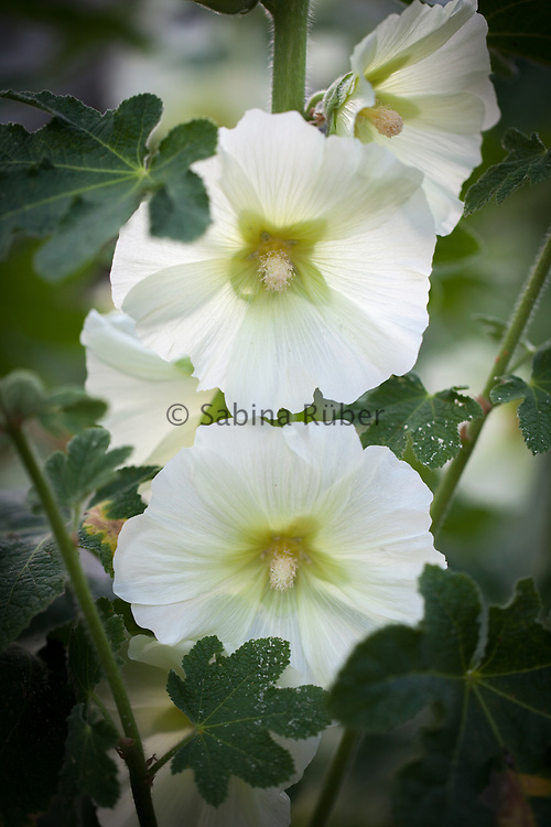 Alcea ficifolia - Antwerp hollyhock
