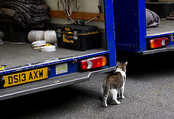 © Licensed to London News Pictures. 16/07/2016. London, UK. Larry the cat sniffs around one of the removal; vans. Removal men begin to take items from numbers 10 and 11 at Downing Street at the end of the week that saw Prime Minister David Cameron leave and Theresa May arrive. Photo credit: Ben Cawthra/LNP