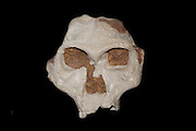 Part of the skull of an australopithecine - originally called