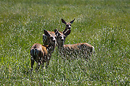 three mule deer