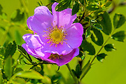 Rosa multiflora invasive species