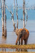 An elephant covered with distintive orange mud at Lake Kariba, Zimbabwe