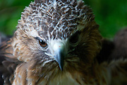 Female, red-tailed hawk staring down the camera lens