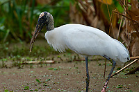 Wood Stork Mycteria americana Wakodahatchee Wetlands Delray Beach Florida USA