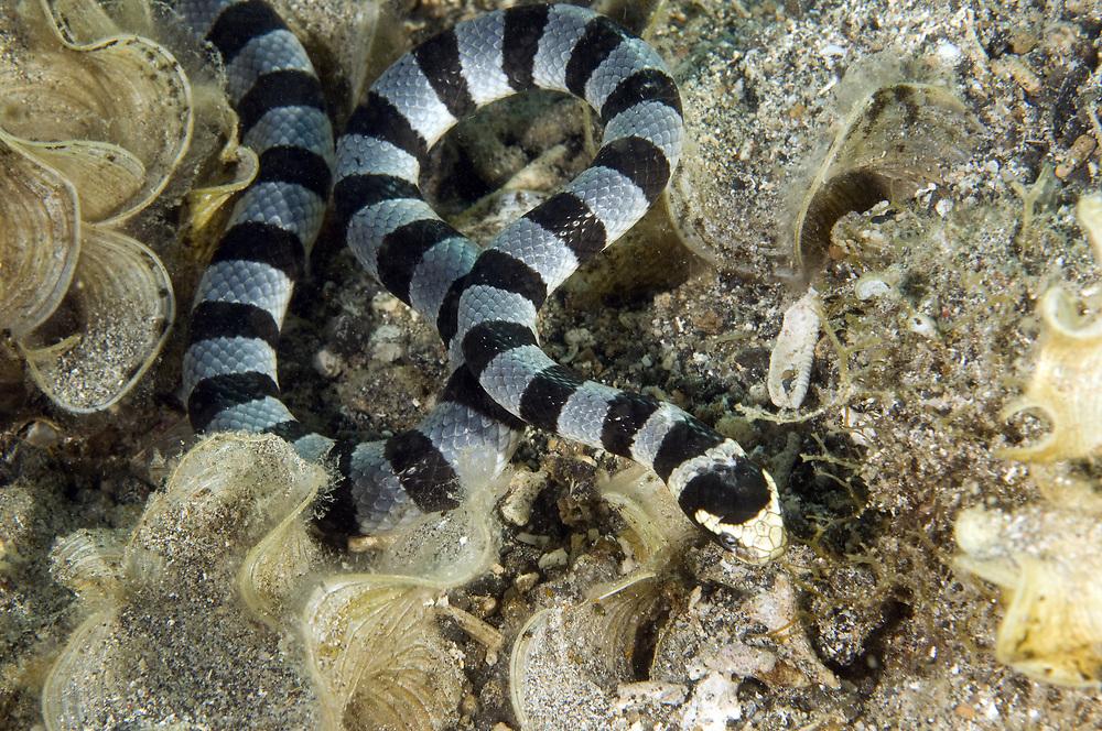 Yellow-lipped sea krait (Laticauda colubrina). Location : Lembeh Strait, Sulawesi, Indonesia