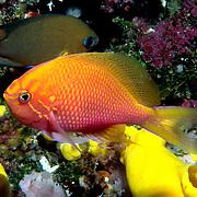 Hawk Anthis inhabit reefs. Picture taken Fiji.