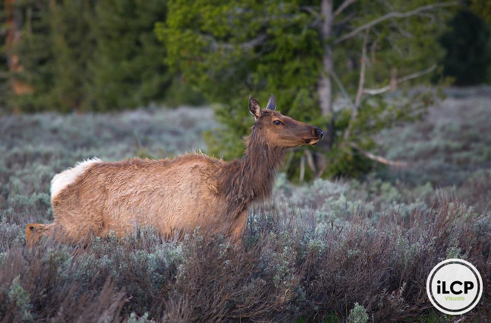 Elk in Grand Teton National Park.