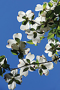 Dogwoods bloom in Northern Arkansas.