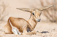 Resting Springbok Lamb, Kgalagadi Tranfrontier Park, Northern Cape, South Africa