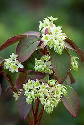 Ribes laurifolium 'Mrs Amy Doncaster'. Laurel-leaved currant