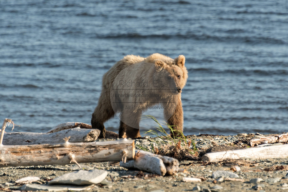 A brown bear adult boar walks on the beach along the Cook Inlet at the McNeil River State Game Sanctuary on the Kenai Peninsula, Alaska. The remote site is accessed only with a special permit and is the world's largest seasonal population of brown bears in their natural environment.