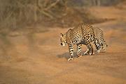 Leopard mother and cub, Yala National Park, Sri Lanka