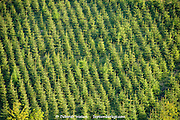 Green diagonal lines of fir trees growing in a plantation on a steep valley hillside above Ladybower Reservoir, Peak District, UK